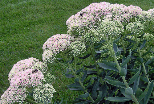 File:P8310061G-This sedum provides work for a lot of bees!.jpg