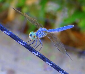 Glacial dragonfly beast