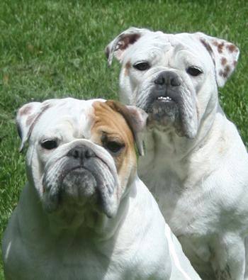 File:Boarhounds.jpg