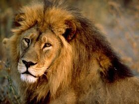 493px-African-lion-male 436 600x450