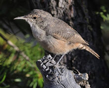 2008-canyon-wren