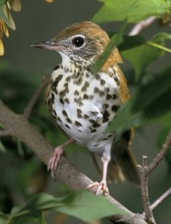 File:Woodthrush79.jpg