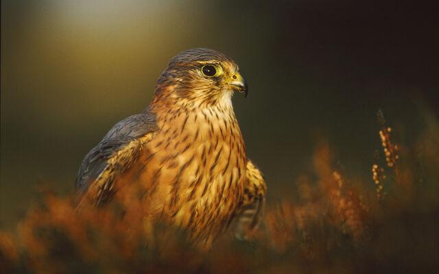File:Birdsofprey15.jpg
