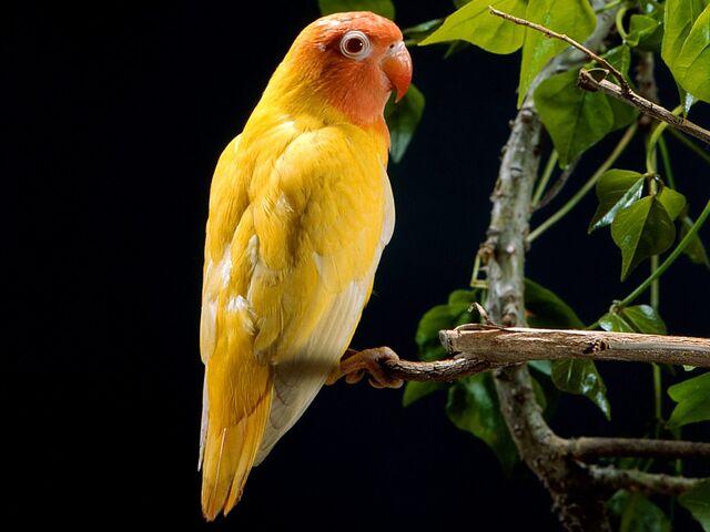 File:Yellow Love Bird.jpg