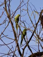 Ringnecked parakeets