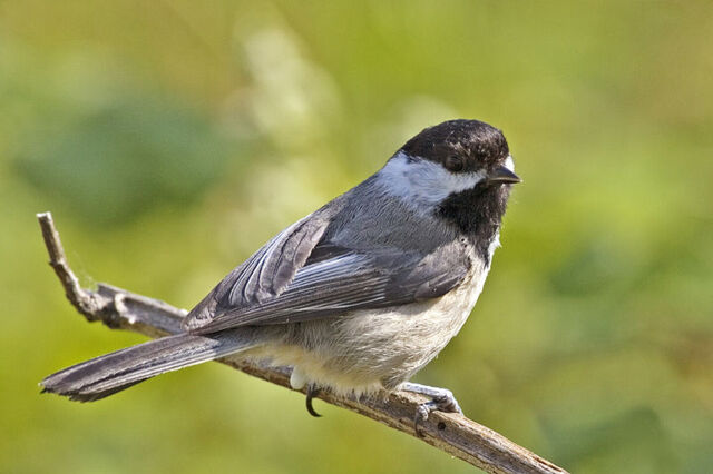 File:B-c chickadee.jpg