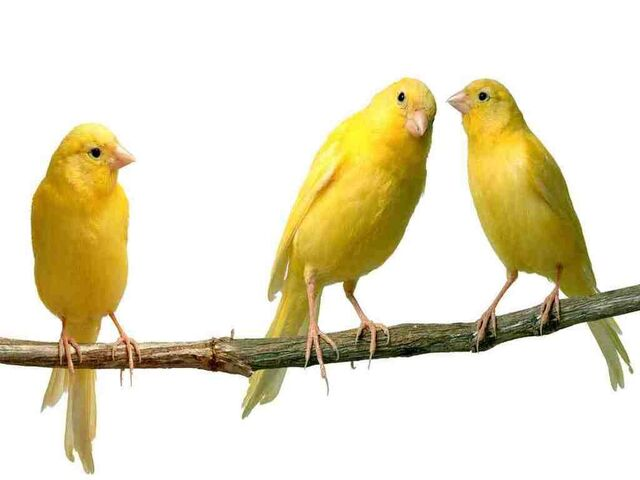 File:Three Yellow Canary Birds.jpg