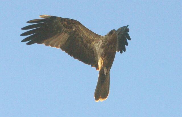 File:Eagle 4009.jpg