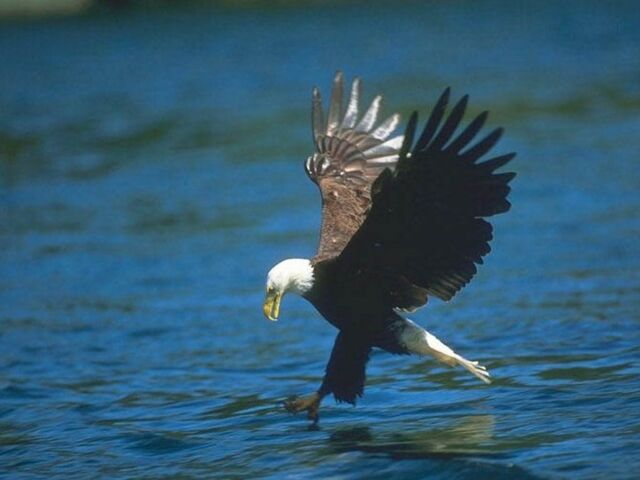 File:Fishing Eagle.jpg