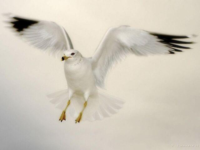 File:Flying Seagull.jpg