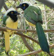 Green jays barcellona zoo