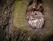Tree Tawny