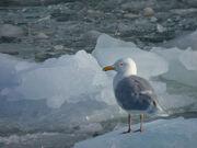 Glaucous Gull on Ice