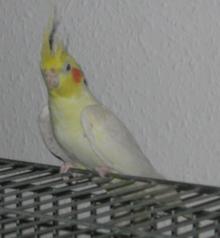 YellowCockatiel