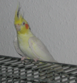 File:YellowCockatiel.PNG