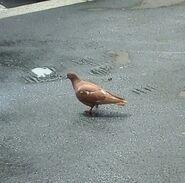 Rusty pigeon