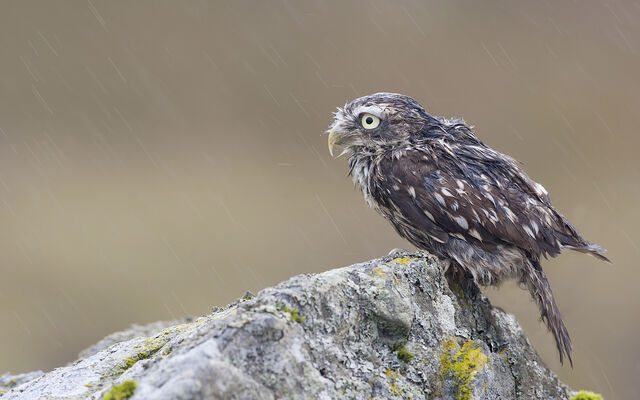 File:6 aidanfinn-littleowl.jpg