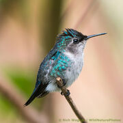 Female bee hummingbird