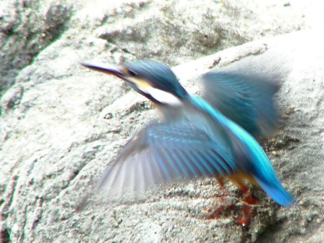 File:Kingfisher flight-3103.jpg