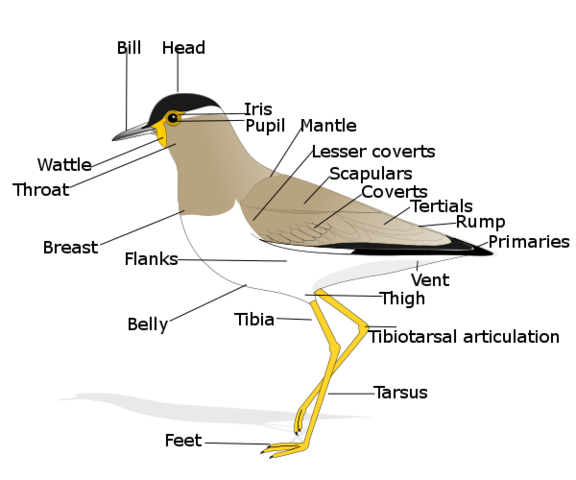File:Birdmorphology.png