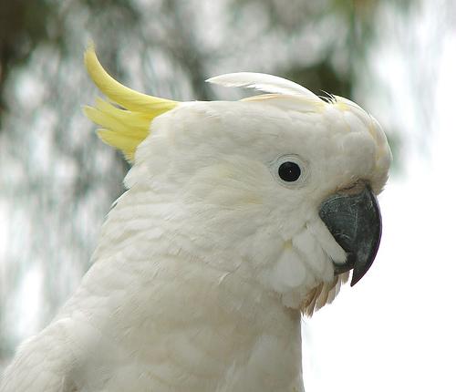 File:Cockatoo.jpg