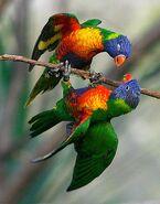 Lorichetti arcobaleno