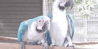 Blue Mutation Macaw