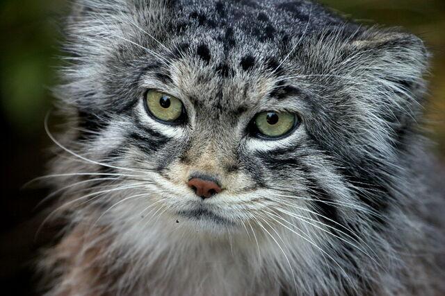 File:Pallas cat.jpg
