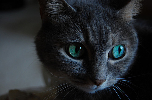 File:Animal-blue-cat-cute-pretty-thing-Favim com-46188.jpg