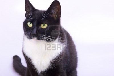 File:8024293-gros-chat-pretty-noir-et-blanc-avec-les-yeux-jaune-vert.jpg