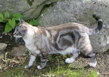 File:Tabby-cat-bullseye-swirl.jpg