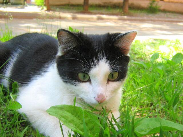 File:Green-eyes-black-and-white-cat-5.jpg