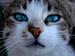 File:Cat with blue eyes by strawberriescherries.jpg