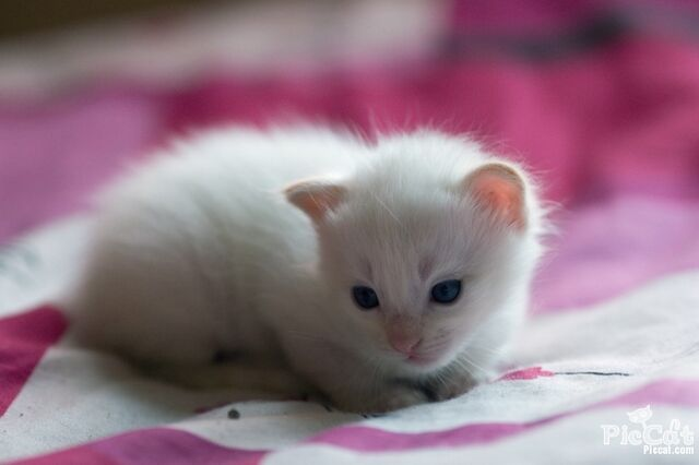 File:Blue-eyes-cute-white-cat-Favim com-335079.jpg