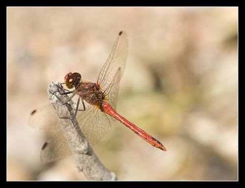 File:Red Dragonfly.jpg