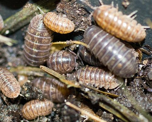 File:Pillbugs (Armadillidiidae).jpg