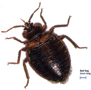 File:Bed-bugs.jpg