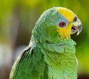 Amazona Guaro