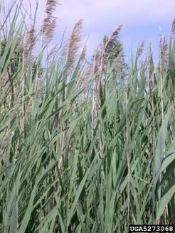 Common Reed 132
