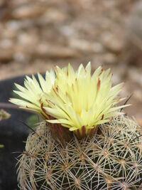 Coryphantha retusa000.12