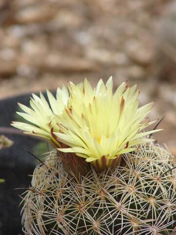 File:Coryphantha retusa000.12.JPG
