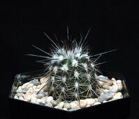 Echinopsis mirabilis100