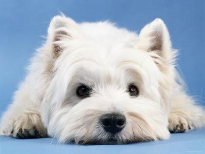 Ficheiro:West Highland White Terrier2.jpg