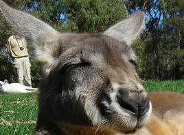 File:Relaxing kangaroo galleryfull.jpg