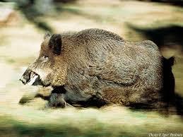 File:Boar charge.jpg