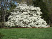 100 year old dogwood tree by aragornsparrow