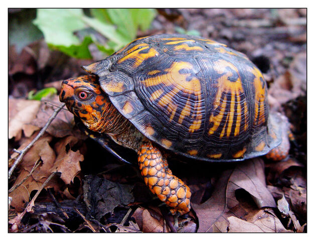File:Eastern Box Turtle by littleredelf.jpg