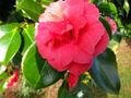 Camellia wallpaper.jpg