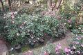 Camellia garden.jpg