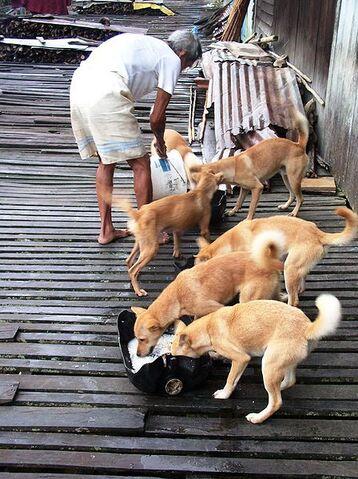 File:Borneodogs.jpg